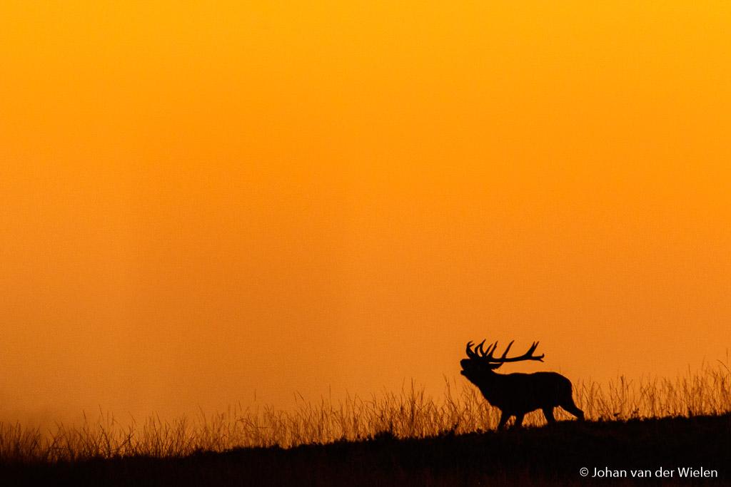 Een gouden hert burlt alleen als hij wat zinnigs te burlen heeft... kunnen wij mensen nog veel van leren ;-)