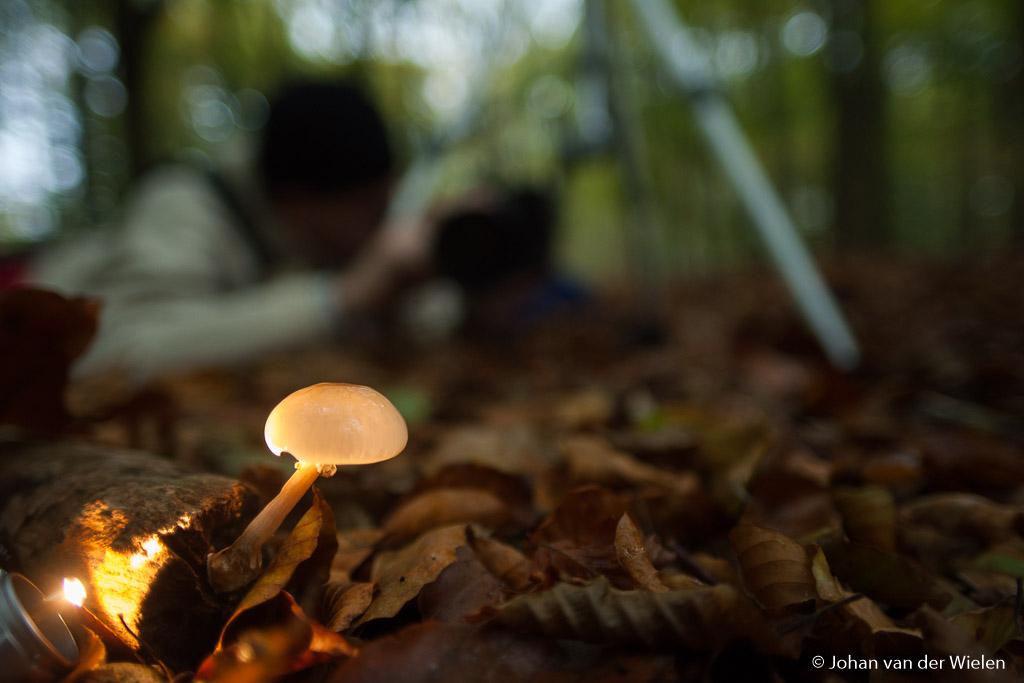 Een zaklampje kan je gebruiken om het licht te laten branden in een klein doorschijnend zwammetje als de porseleinzwam
