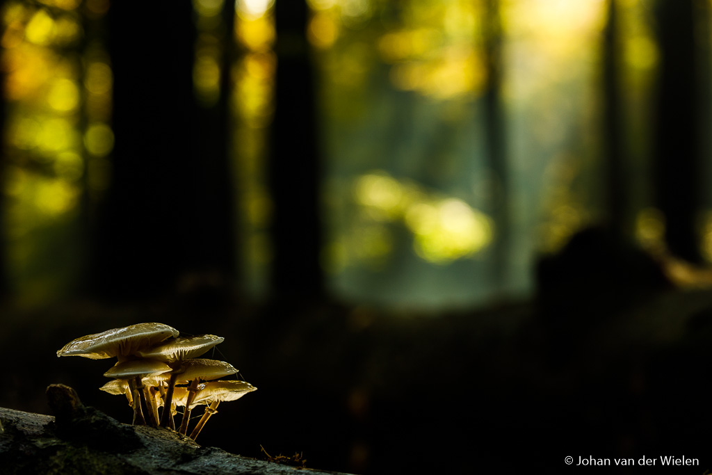 Door de van onderen beschenen paddenstoel juist tegen een donkere achtergrond te plaatsen, in dit geval een boom, wordt het lichteffect nóg meer benadrukt.