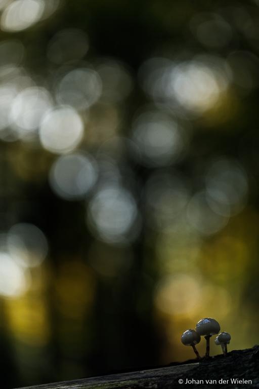 Geen lampje, weliswaar staan de zwammen tegen een lichte plek in de achtergrond maar alsnog ogen ze vrij donker.