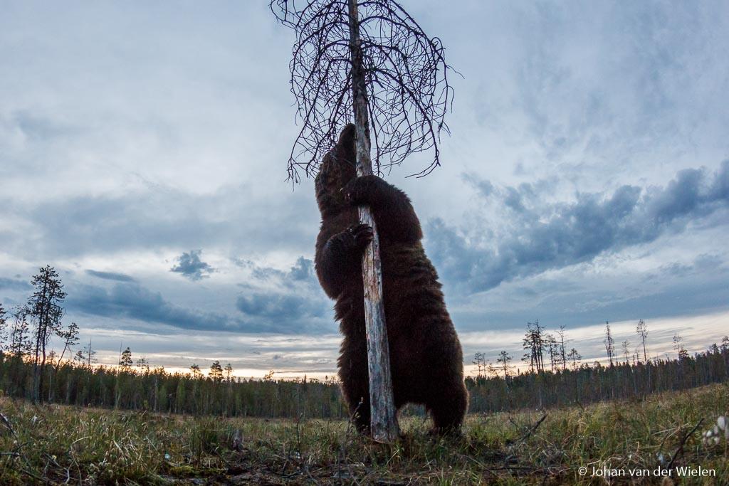 en 12mm fisheye opname van een beer op nog geen 2m afstand!