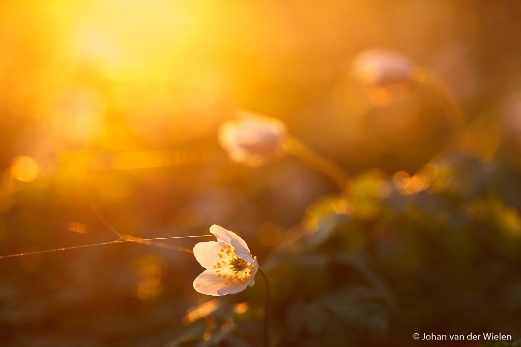 Gouden uurtje gebruikt met tegenlicht, het meest sfeervolle licht wat je als fotograaf maar kunt wensen.