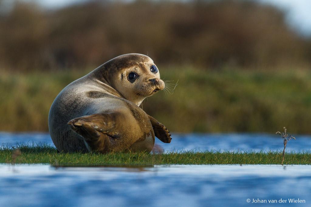 Anders dan anders en niet te plannen, een zeehond liggend in de kwelder van Schiermonnikoog. Dit maak je slechts één keer mee.