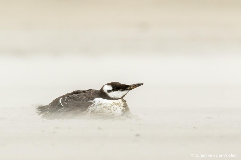 Geen 'mooi' beeld maar wel met een verhaal, een uitgeputte zeekoet op het strand van Ameland.