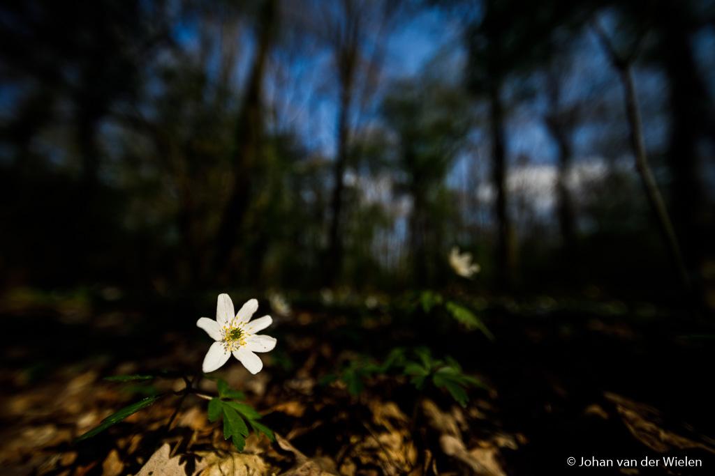 Door het enorme licht/donker contrast èn onderbelichting ontstaat een heftig donker beeld met nadruk op de lichte bosanemoon