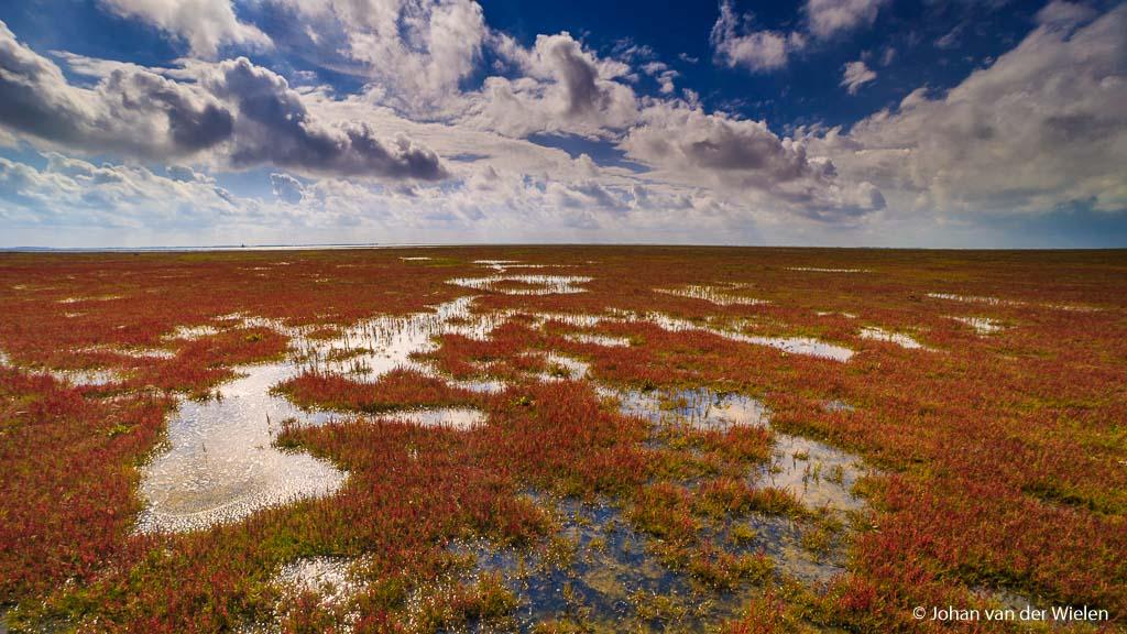 Speciaal op pad voor dit beeld, het rode zeekraal op de kwelders in het begin van de herfst (Schiermonnikoog).