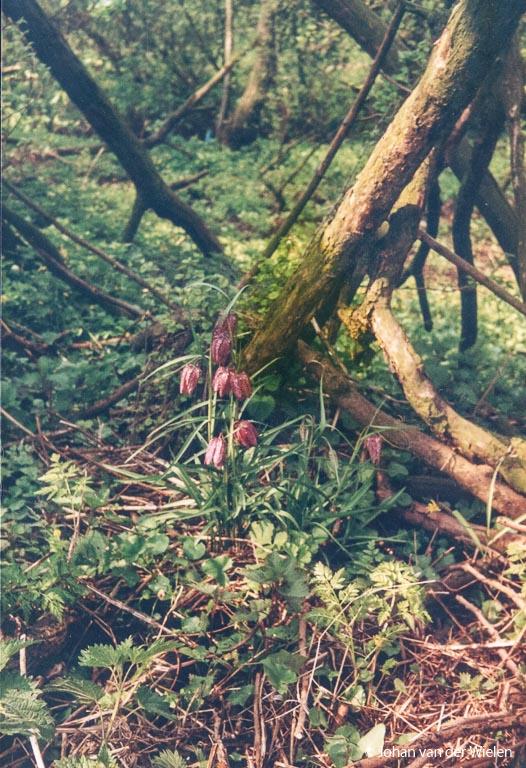 Mijn eerste kievitsbloemen foto: pasen 1990, 14 jaar oud.
