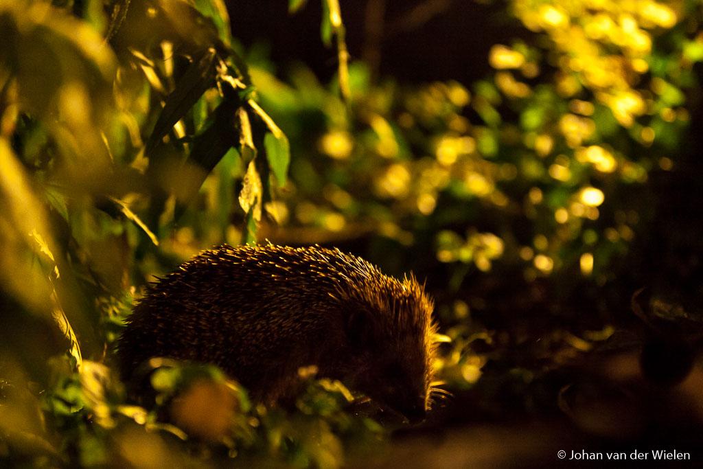De hele nacht scharrelen de egels ze door en komen minder tot rust in de stad.