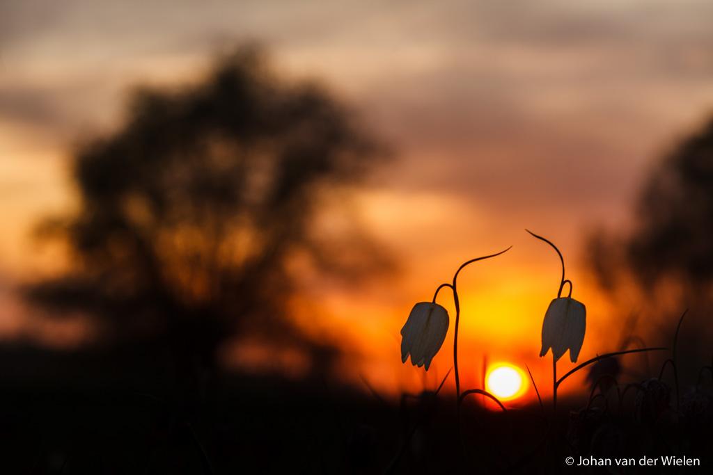 Kievitsbloemen in het avondlicht...