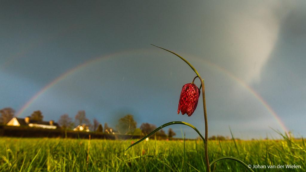Kievitsbloem met dubbele regenboog, lukt alleen met een groothoeklens; 19mm op fullframe, f/8 bij ISO 400 en /640sec.