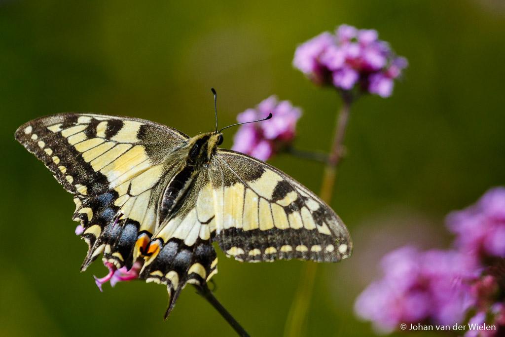 Telelenzen zijn ook erg prettig voor insecten zoals vlinders. Juist omdat je verder weg moet blijven en toch ver in kan zoomen kun je ze groot genoeg in beeld brengen zonder te verstoren. 400mm op 1,6x crop; f/5.6 bij ISO 400 en 1/3200sec.