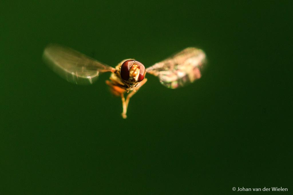 Met wat oefenen lukt het zelfs om een zwevende zweefvlieg in de vlucht te fotograferen. 400mm + Canon 500D close-up lens.