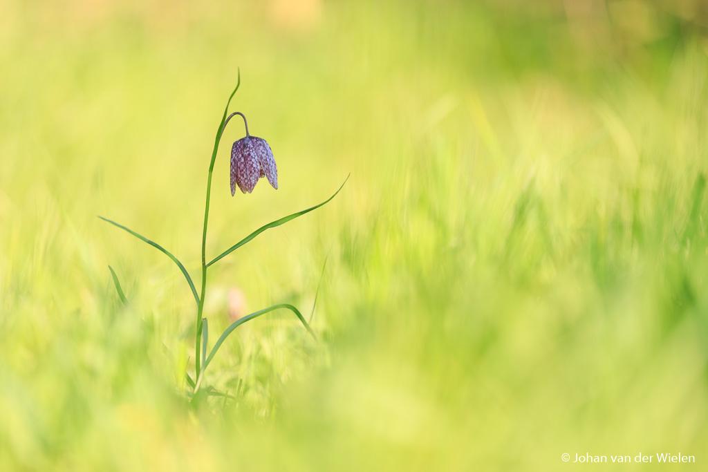 Zelfde foto alleen zit nu de kievitsbloem precies in de schaduw. De bloem lijkt nu wat donker maar deze setting biedt mogelijkheden om wat creatiever te belichten.