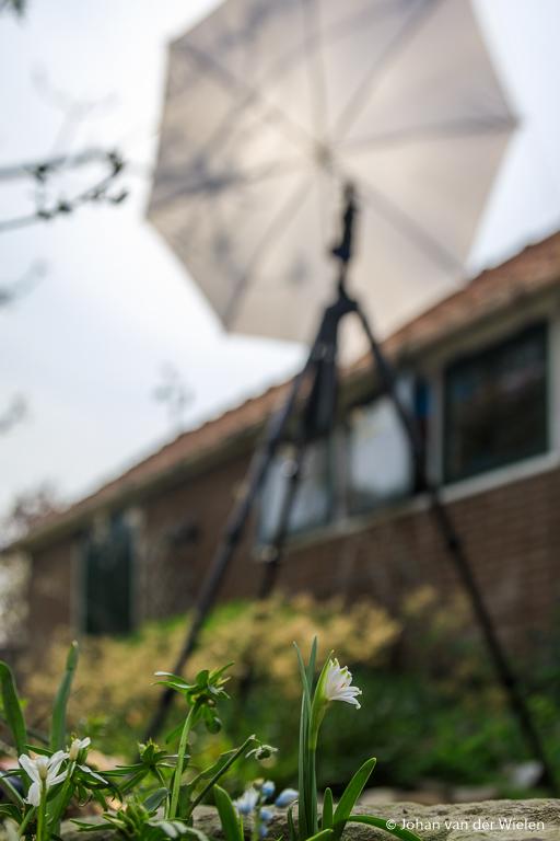 Achter de schermen van het lenteklokje in de tuin.