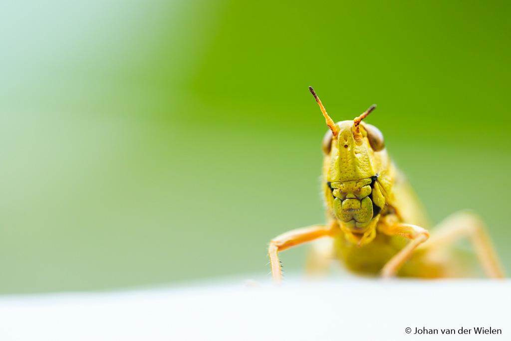 De moerassprinkhaan, genietend van de zon op mijn fototas… wat een indrukwekkend beest op 1,5:1 vergroting.