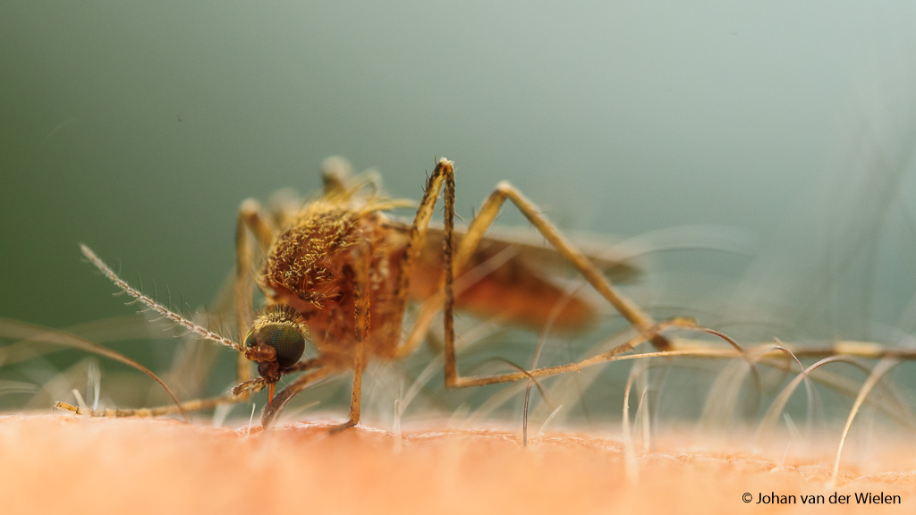 Wat een creatuur is een mug, zeker als je life getuige bent van die lange 'naald' die langzaam in je eigen vlees verdwijnt en de eerste jeuk zich aandient.
