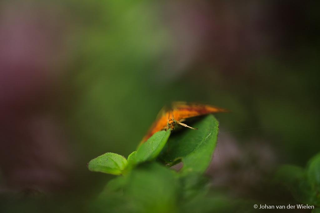 Het muntvlindertje, omringd door groen en paars…