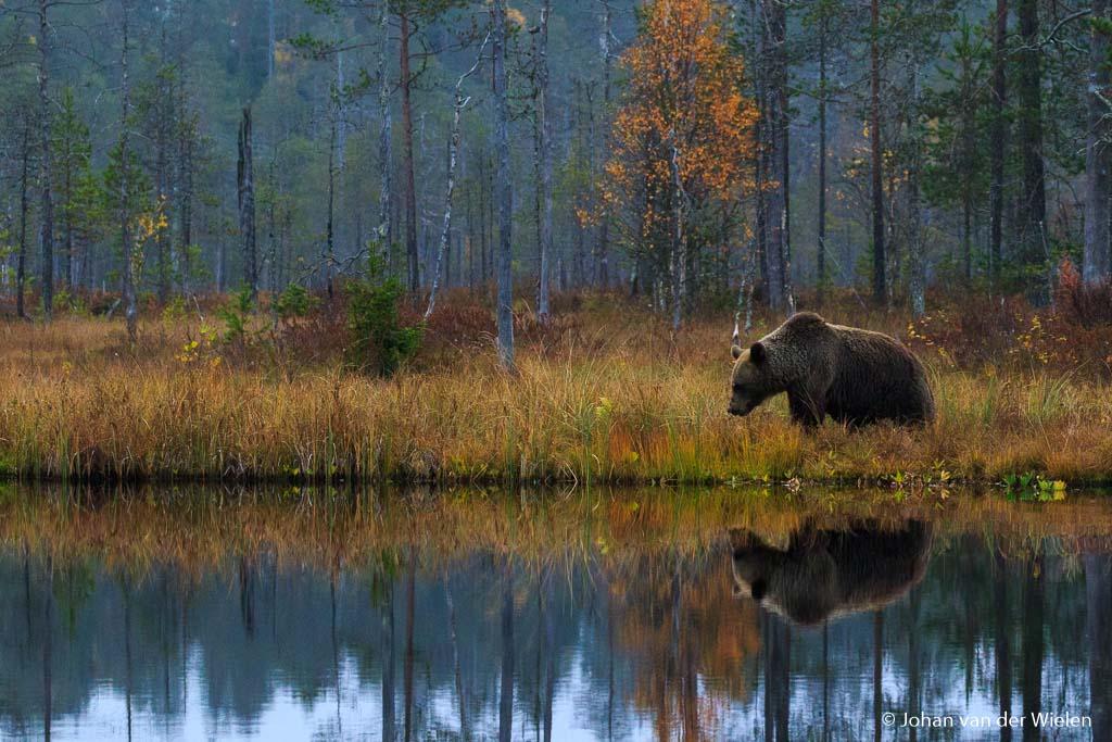 Wilde bruine beer in de typische Finse herfstkleuren.