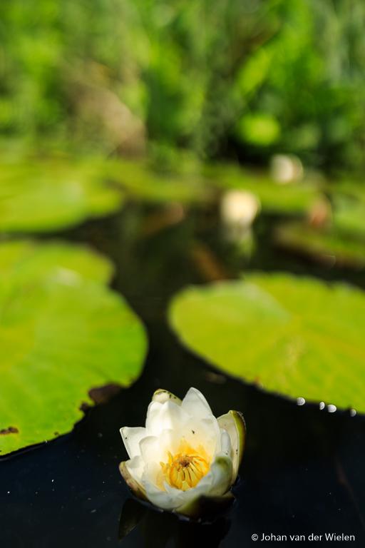 Terwijl de boot doorvaart fotografeer ik waterlelies die langskomen op f/1.4.
