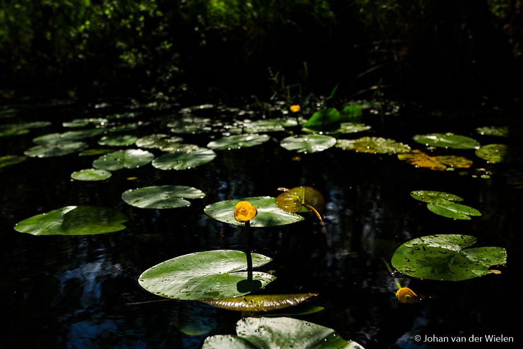 Gele plomp in de Weerribben, net het moment dat de zon doorkomt zodat je kunt spelen met belichting.